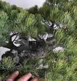 Bonsai Mädchenkiefer, Pinus parviflora, nr. 6178