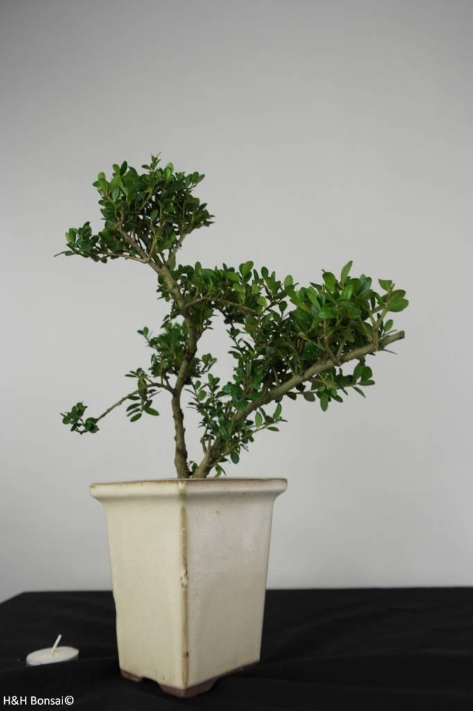 Bonsai Japanische Stechpalme, Ilex crenata, nr. 6256