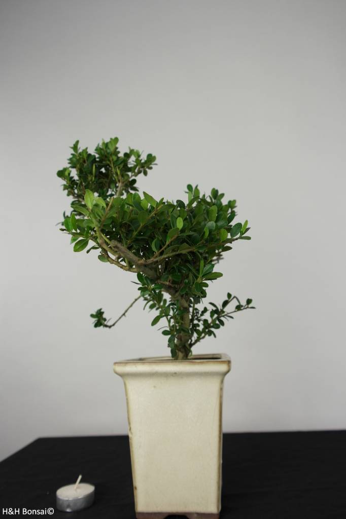 Bonsai Japanese Holly, Ilex crenata, no. 6256