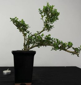 Bonsai Japanese Holly, Ilex crenata, no. 6381