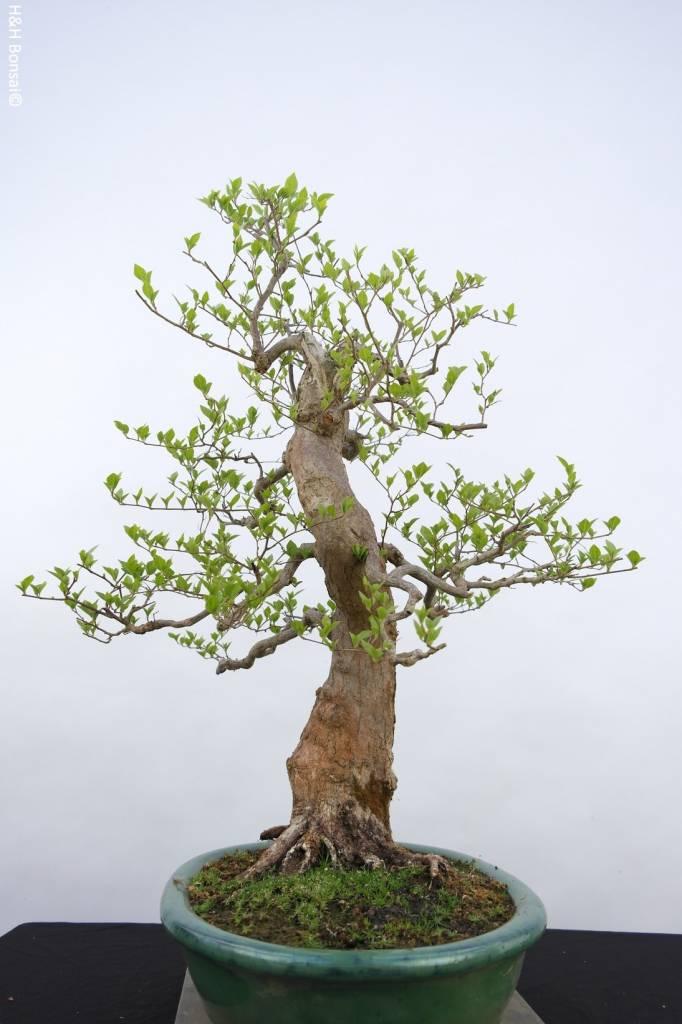 Bonsai Styrax japonicus, nr. 5804