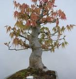 Bonsai Japanese maple, Acer palmatum, no. 5805