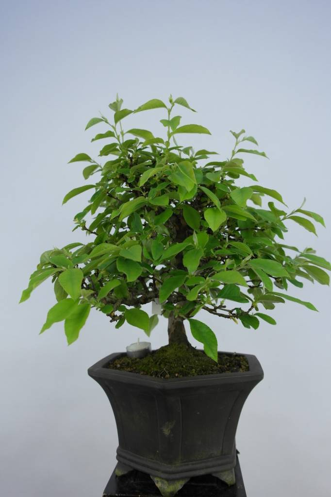 Bonsai Quince, Cydonia oblonga, no. 5664