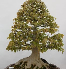 Bonsai Trident maple, Acer buergerianum, no. 5522