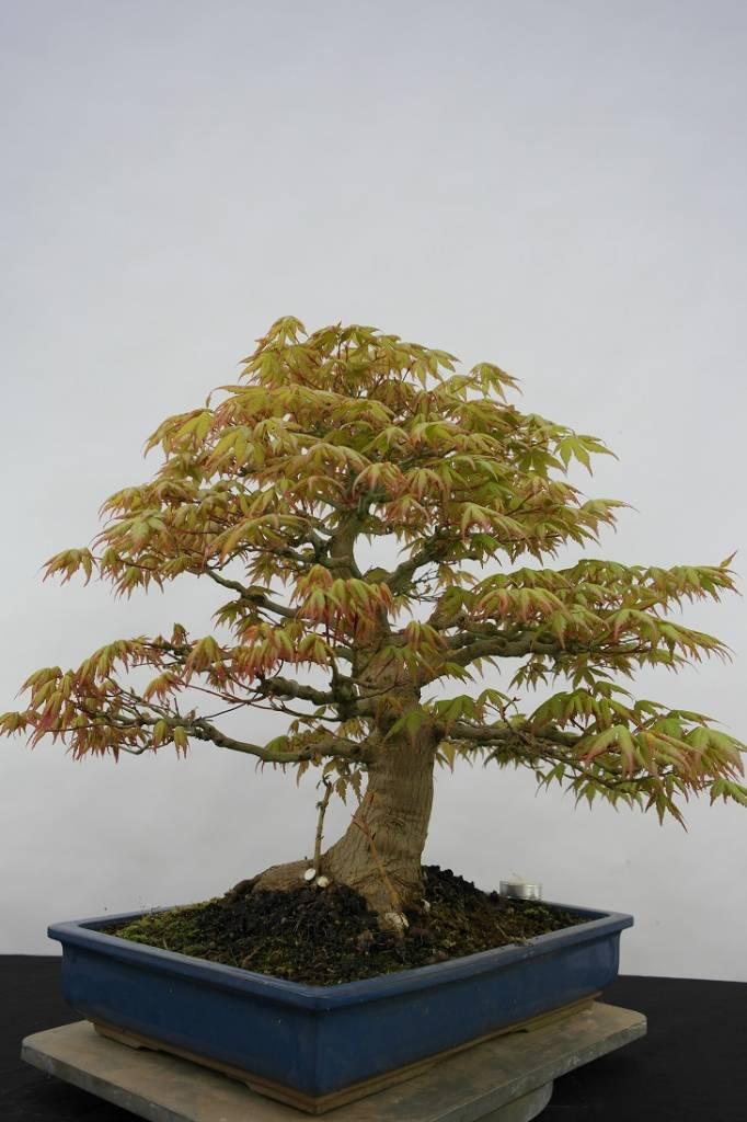 Bonsai Jap. Fächerahorn, Acer palmatum, no. 5509