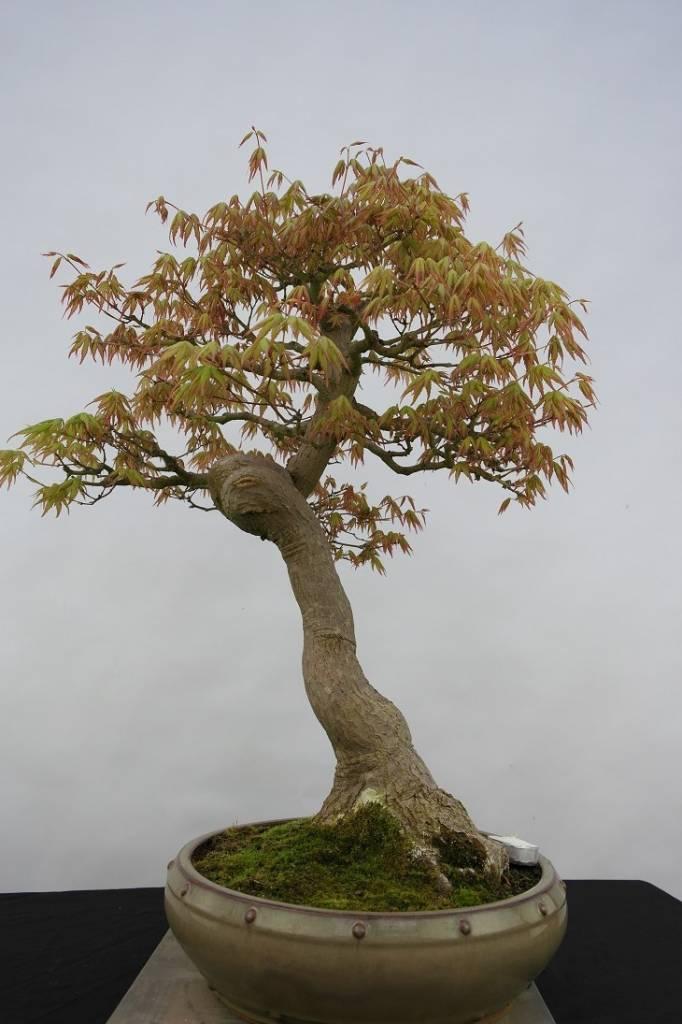 Bonsai Jap. Fächerahorn, Acer palmatum, nr. 5806