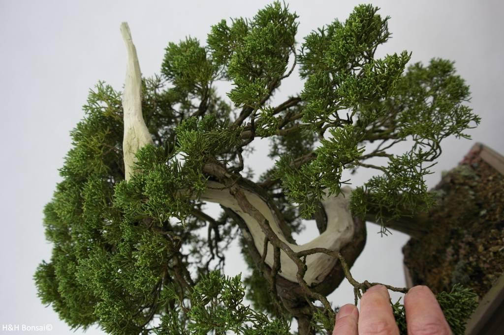 Bonsai Chin. Wacholder, Juniperus chinensis itoigawa, nr. 5178
