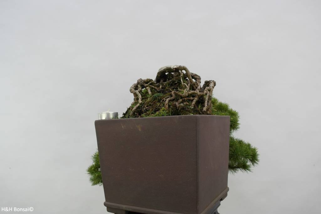 Bonsai White pine, Pinus parviflora, no. 5140