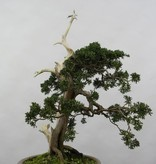 Bonsai Chinese Juniper, Juniperus chinensis, no. 5799