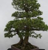 Bonsai Mädchenkiefer kokonoe, Pinus parviflora kokonoe, nr. 5179