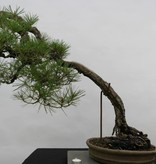 Bonsai Japanese Red Pine, Pinus densiflora, no. 5171