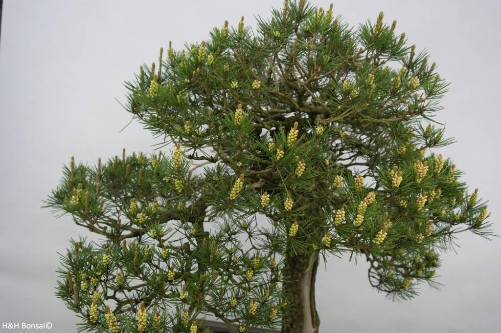Bonsai Schwarzkiefer, Pinus thunbergii, nr. 5167