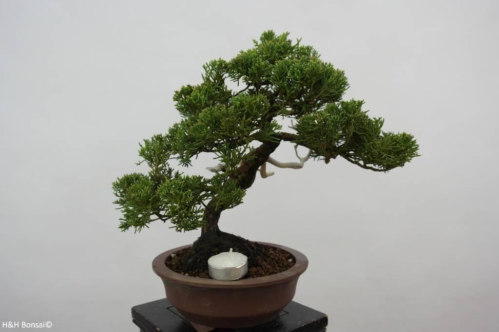 Bonsai Chinese Juniper, Juniperus chinensis, no. 5539