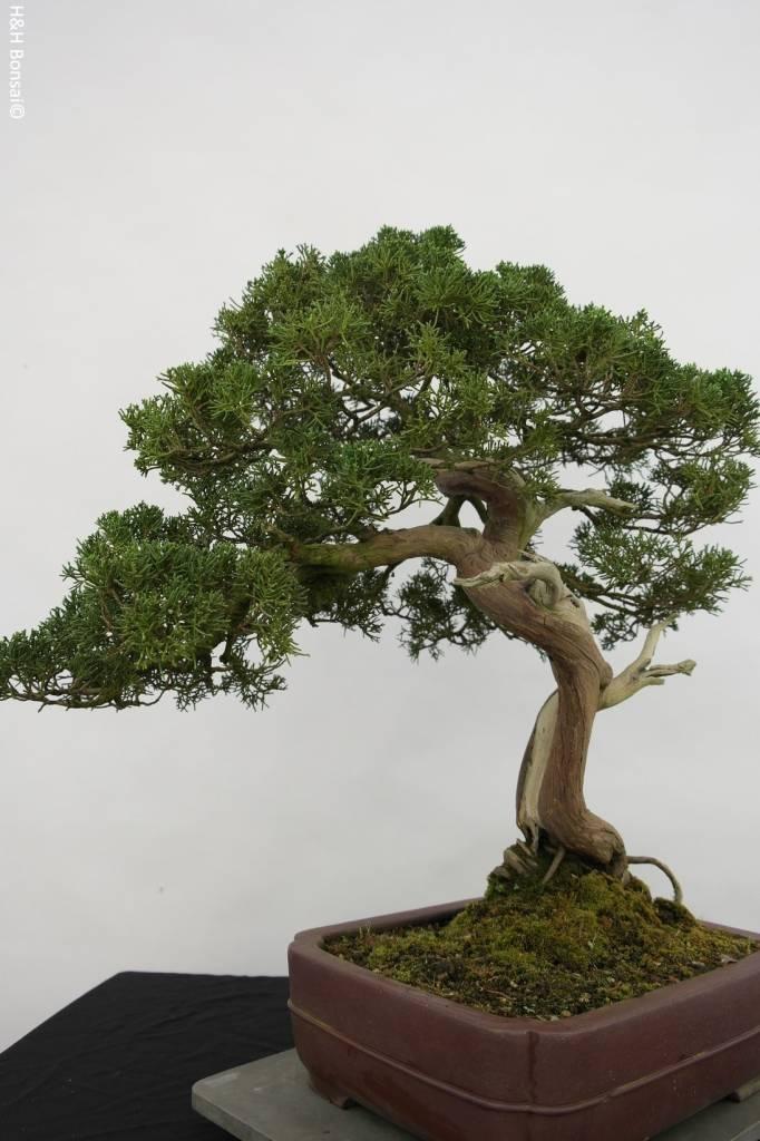Bonsai Chin. Wacholder, Juniperus chinensis itoigawa, nr. 5176