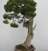 Bonsai Chin. Wacholder, Juniperus chinensis itoigawa, nr. 5165