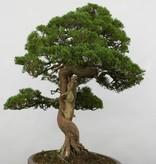Bonsai Chin. Wacholder, Juniperus chinensis itoigawa, nr. 5122