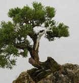 Bonsai Chin. Wacholder, Juniperus chinensis, nr. 5538