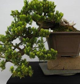 Bonsai Japanische Eibe, cascade, Taxus cuspidata, nr. 5175