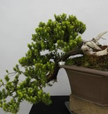 Bonsai Taxus, cascade, no. 5175