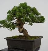 Bonsai Chin. Wacholder, Juniperus chinensis, nr. 5541
