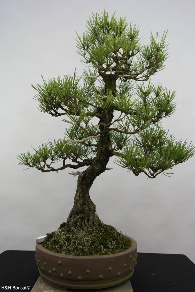 Bonsai Schwarzkiefer, Pinus thunbergii, nr. 6431