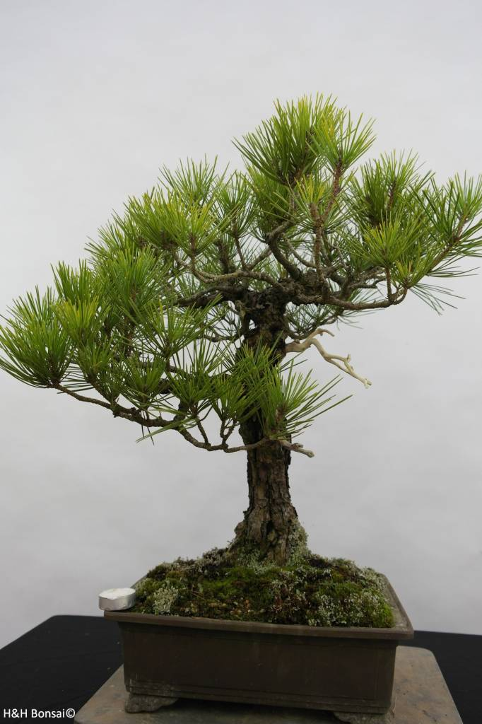 Bonsai Japanese Black Pine, Pinus thunbergii, no. 6435