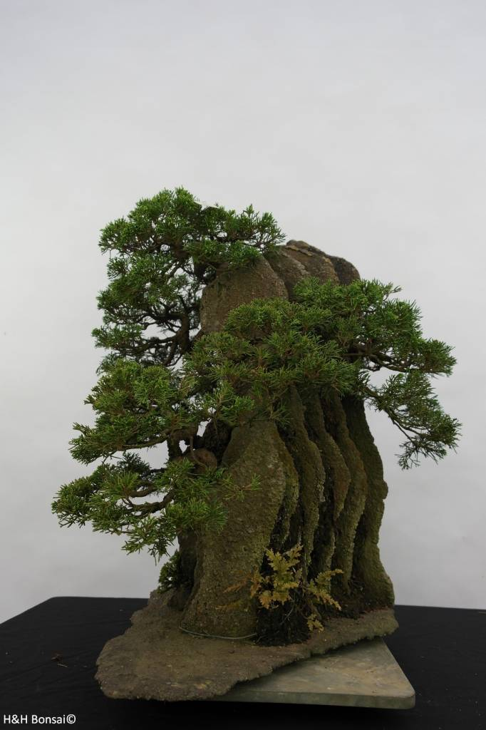Bonsai Chin. Wacholder, Juniperus chinensis, nr. 6437