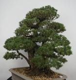 Bonsai White pine kokonoe, Pinus parviflora kokonoe, no. 6452