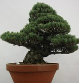 Bonsai Japanese White Pine, Pinus pentaphylla, no. 6453