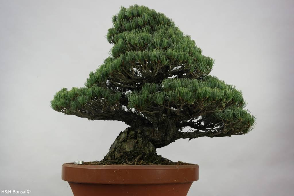 Bonsai Mädchenkiefer, Pinus pentaphylla, nr. 6453