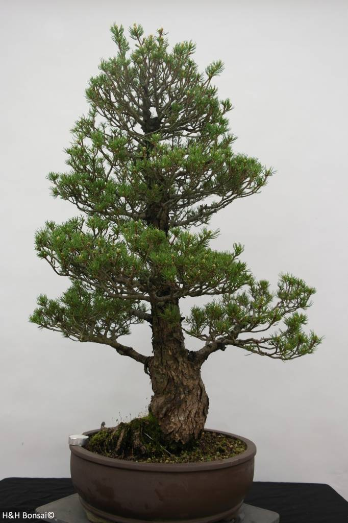 Bonsai Mädchenkiefer, Pinus parviflora kokonoe, nr. 6454