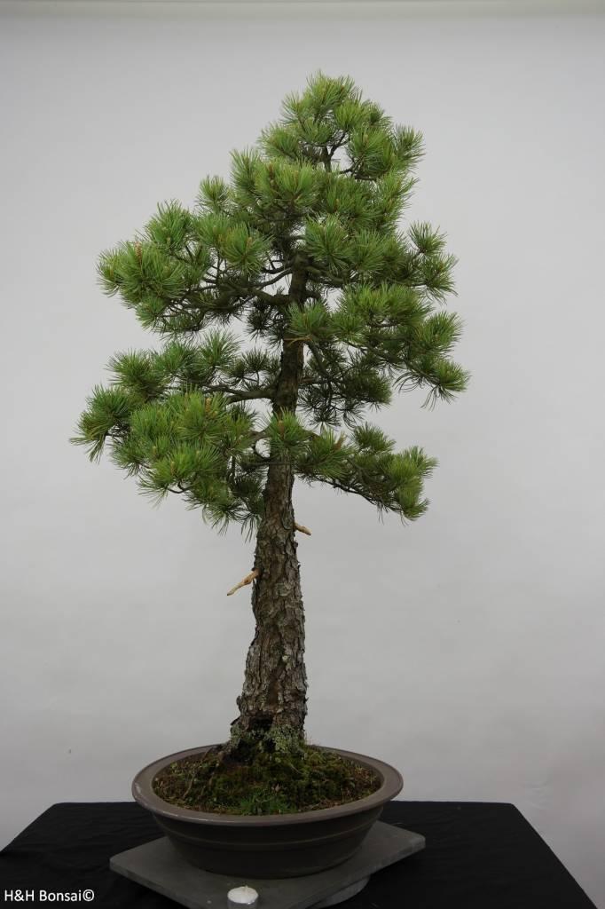 Bonsai Mädchenkiefer, Pinus pentaphylla, nr. 6455