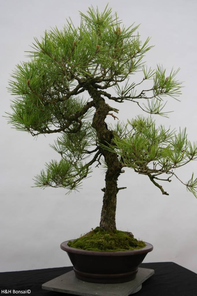Bonsai Japanese Red Pine, Pinus densiflora, no. 6460