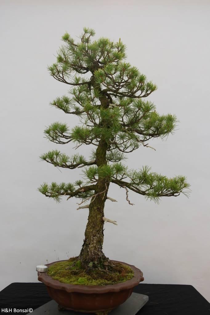 Bonsai Mädchenkiefer, Pinus pentaphylla, nr. 6461