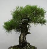 Bonsai Schwarzkiefer, Pinus thunbergii, nr. 6464