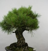 Bonsai Japanese Black Pine, Pinus thunbergii, no. 6464