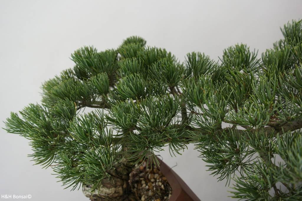 Bonsai Mädchenkiefer, Pinus pentaphylla, nr. 6475