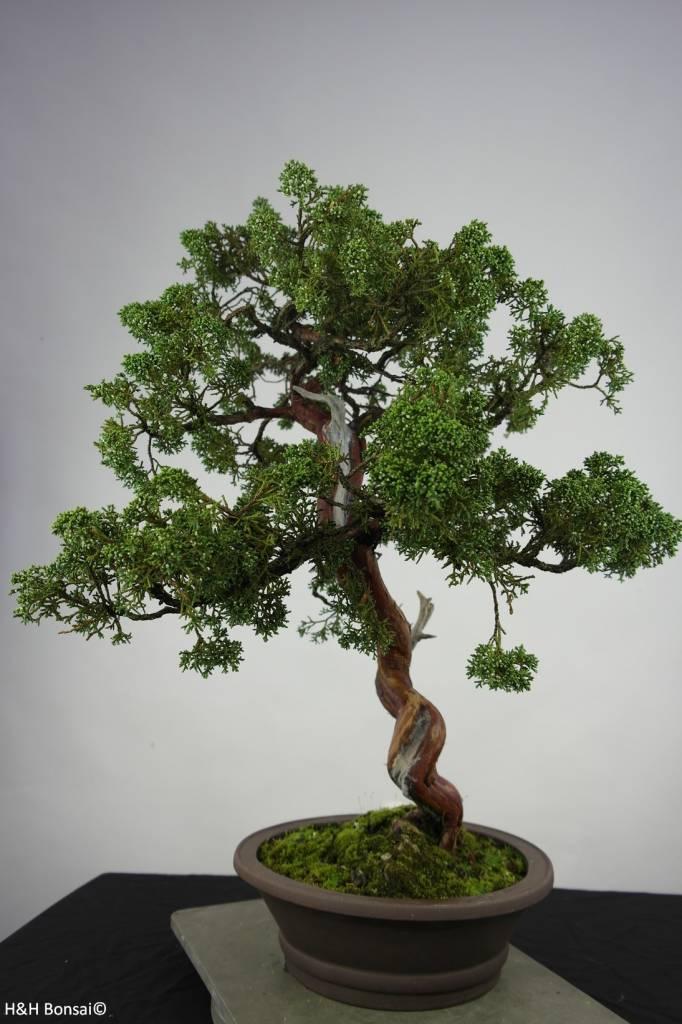 Bonsai Chin. Wacholder, Juniperus chinensis, nr. 6493