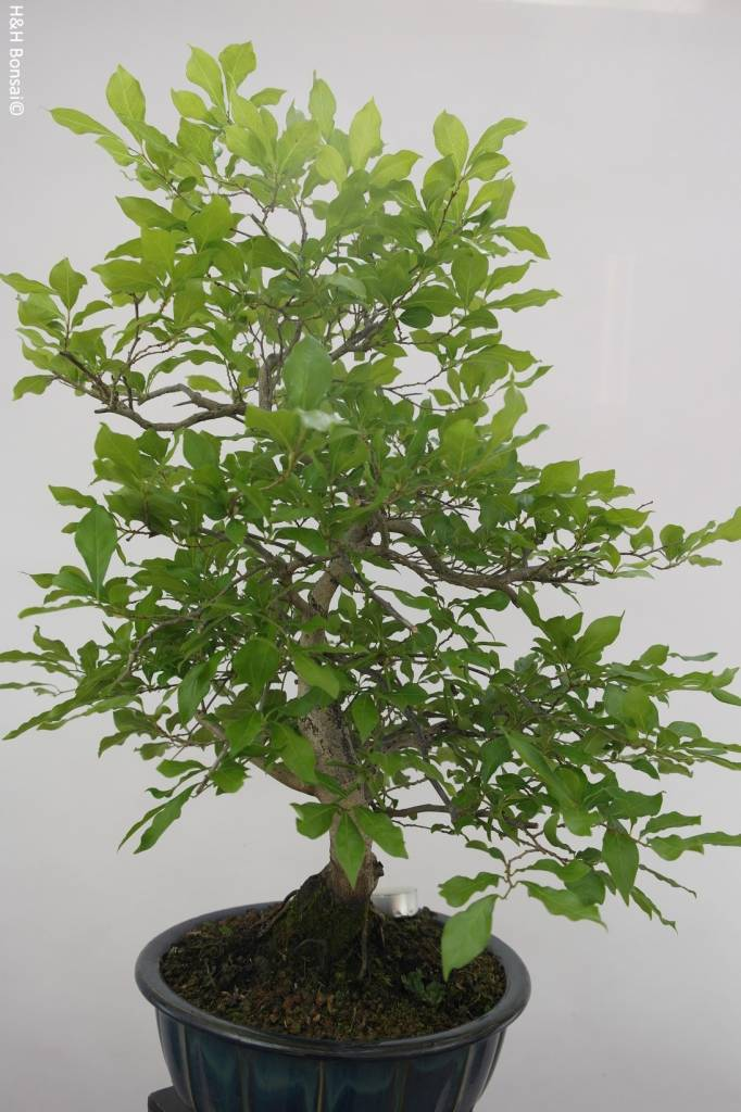 Bonsai Diospyros kaki, Lotus kaki, no. 5575