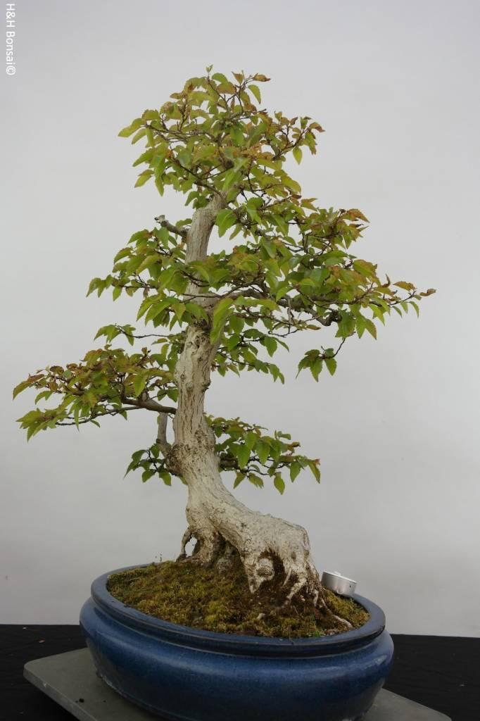 Bonsai Koreanische Hainbuche, Carpinus coreana, nr. 5889