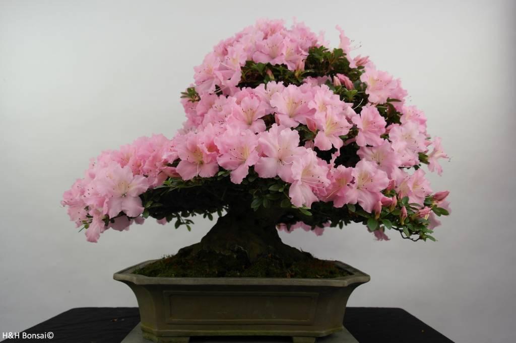Bonsai Azalee Satsuki, Azalea Satsuki, nr. 5291