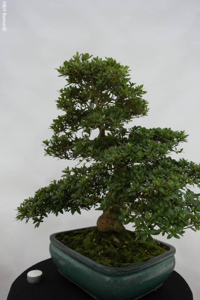 Bonsai Azalee Satsuki, Azalea SatsukiJuko no Homare, nr. 5688