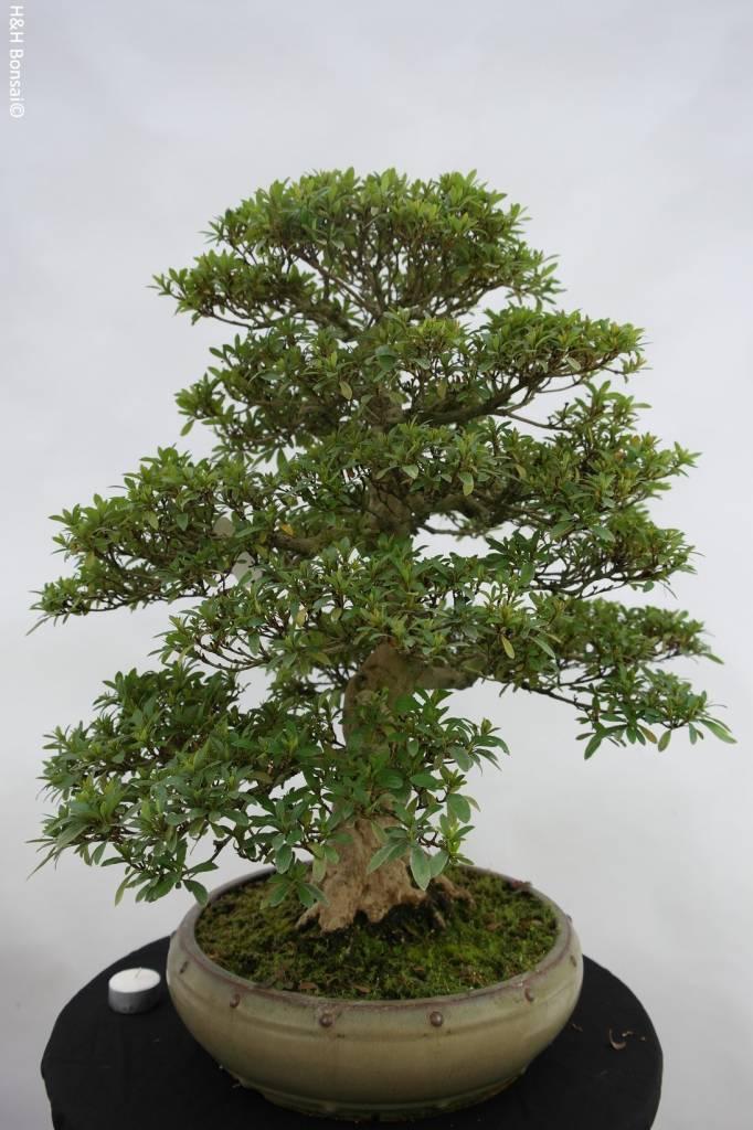 Bonsai Azalea Satsuki, no. 5872