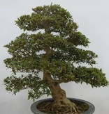 Bonsai Azalea Satsuki Nyohozan, no. 5203