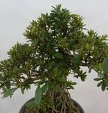 Bonsai Azalee Satsuki, Azalea Satsuki Seiko, nr. 6429
