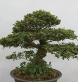 Bonsai Azalee Satsuki, Azalea Satsuki, nr. 5878