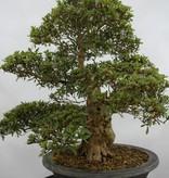 Bonsai Azalee Satsuki, Azalea SatsukiKozan, nr. 5697