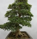 Bonsai Azalea SatsukiSaiko, no. 5696