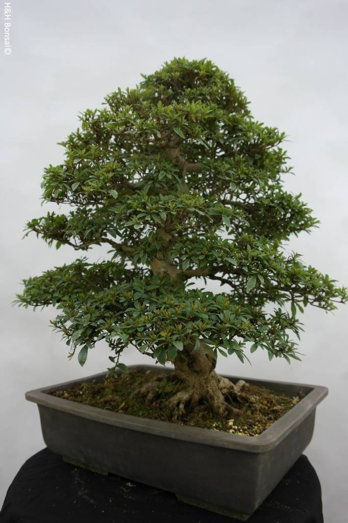Bonsai Azalee Satsuki, Azalea SatsukiSaiko, nr. 5696