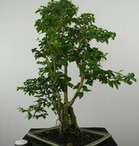 Bonsai Ligustrum sinense, nr. 6495